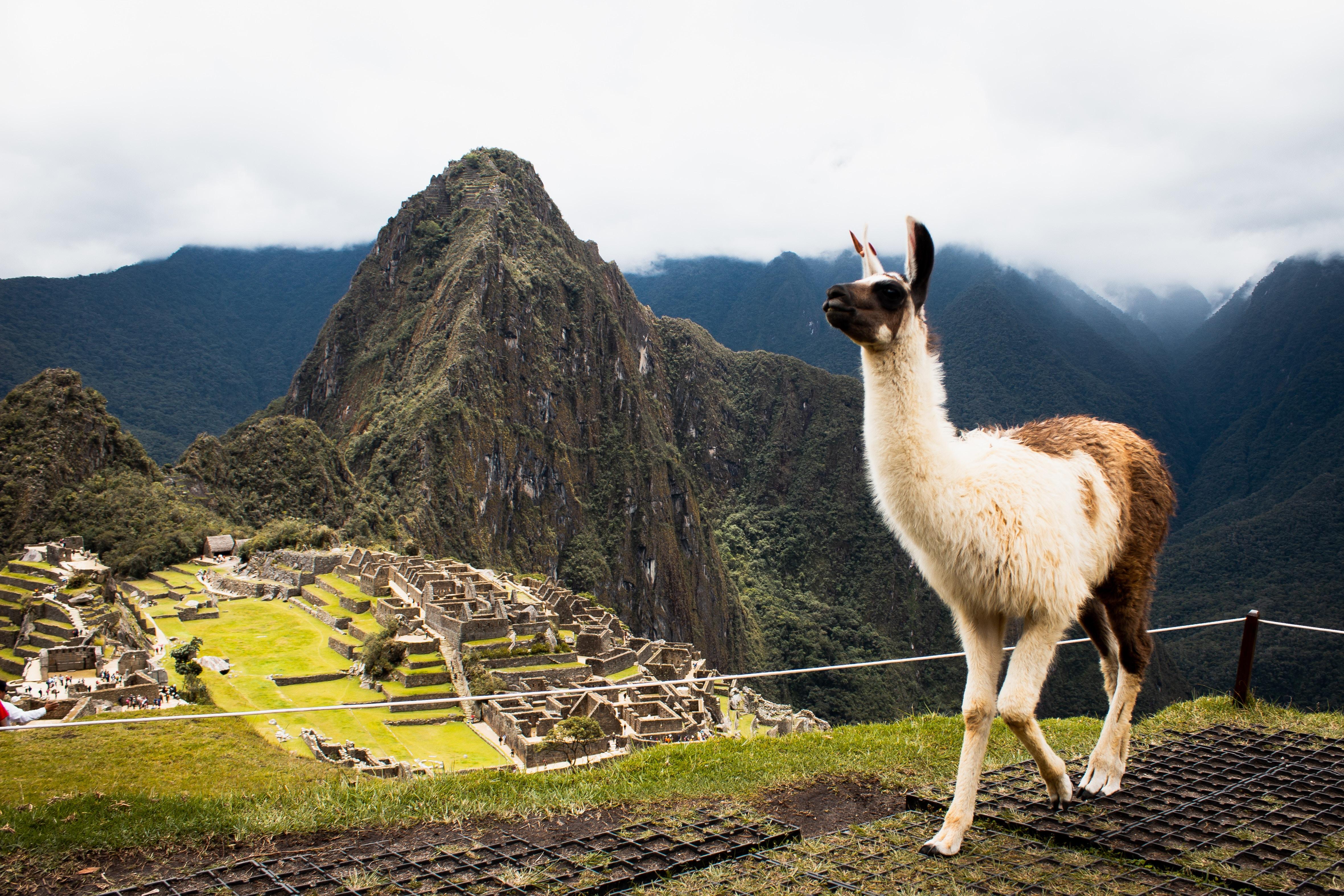 Alpaca residente de Machu Picchu Photo by Junior Moran
