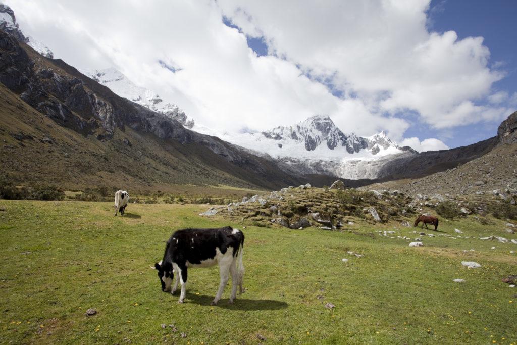 Vacas en la Cordillera Blanca